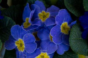 Polyanthus - spring flowers